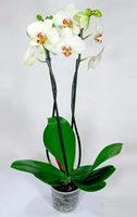 Орхидея горшечная (Фаленопсис)