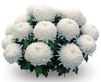 Хризантема крупноцветковая (в ассортименте)
