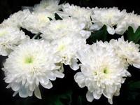 """Хризантема """"Зембла"""" белая и желтая"""